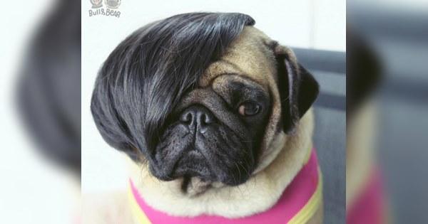 chú chó pug đội tóc giả cực hài hước