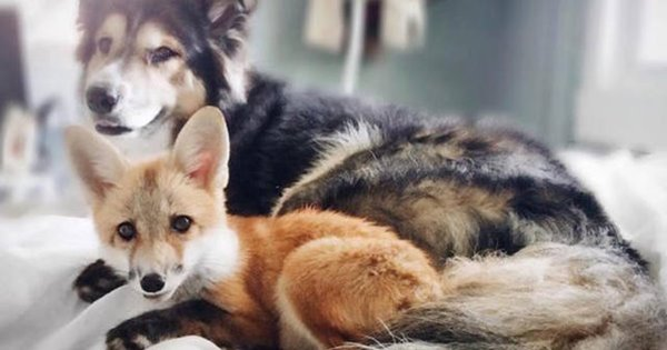 Cáo và chó cực cute